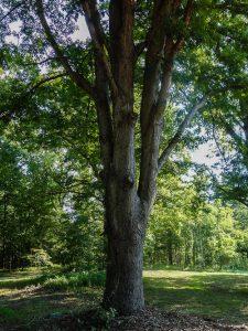 Yard-Grown Oak
