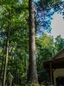 Forest-Grown Oak